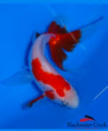 Specialty Fantail Goldfish
