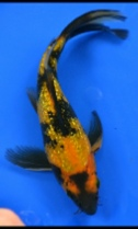 Gin-Rin H Utsuri Butterfly Koi from Blackwater Creek Koi Farms