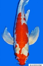Hariwake butterfly koi from Blackwater Creek Koi Farms