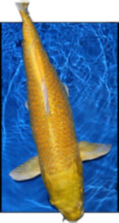 Hikarimono Koi for sale from Blackwater Creek Koi Farms.