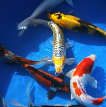 Koi Fish For Sale From Blackwater Creek Koi Farms