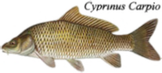 Cyprinus-carpio (common Carp)